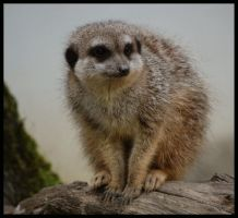 just meerkat by morho