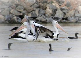 Pelican Shuffle by TanyaMarieReeves