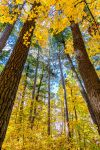 Maples and Pines by dkwynia