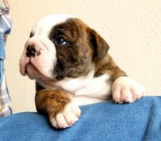 Louie by NobleBulldogges