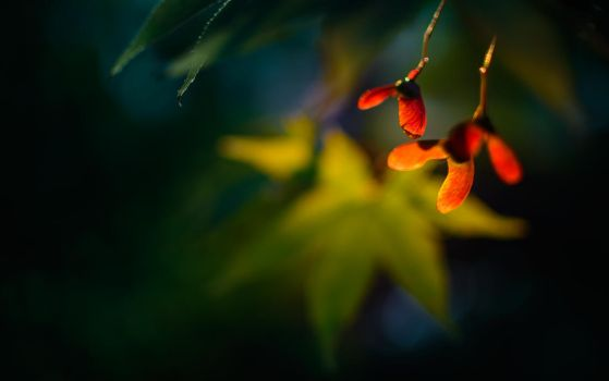 japanese maple by EmmmBeee