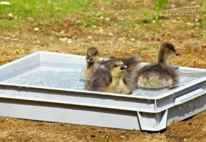 Little Goose taking a Bath by SaraJArts