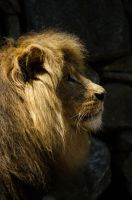 Lion profile by Electrokopf