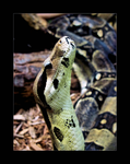 Boa by Turtlebuzz