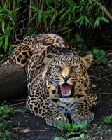 African Leopard by SnowPoring