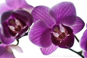 The Orchids by jdrainville
