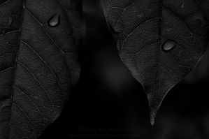 bw leavesndrops by Suinaliath