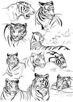 Tiger Face Studies by Temiree