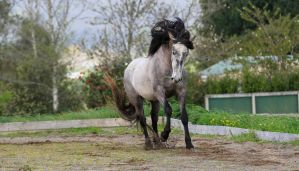 Andalusian Stallion Stock 3 by xxMysteryStockxx