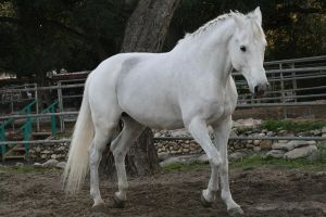 white horse stock 9 by Aestivall-Stock