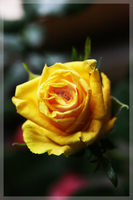 Flower - yellow lonely rose by Championx91