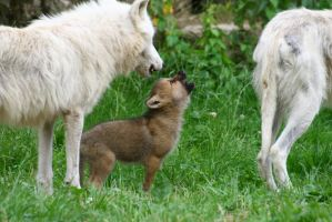 howling artic wolf pup by Nashoba67