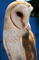 Barn Owl by ericarad