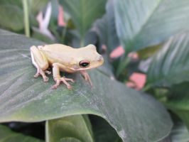 Tree Frog 003 by death-pengwin