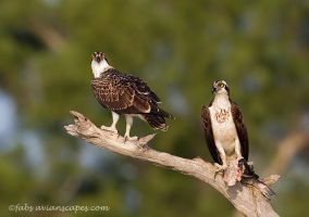 Osprey Mom and Chick by FForns
