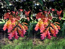 Red Oak Autumn At Kew Preview by aegiandyad
