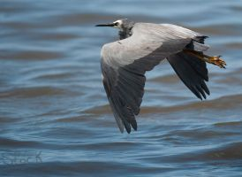 White faced Heron 08 by 88-Lawstock