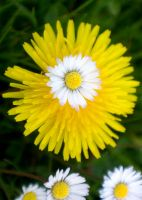daisies and dandelions. by LubelleCreativeSpark