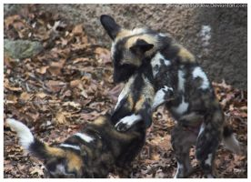 African Wild Dog - Pups 007 by ShineOverShadow