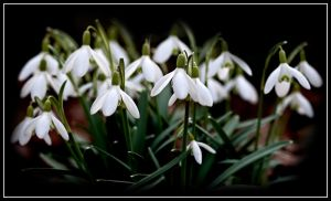 Snowdrops - Galanthus Nivalis by Punt1971