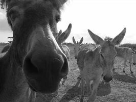 Donkeys! by missdwhit