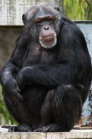 Chimp by secondclaw