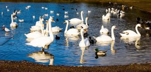 Swans by LilPeteMordino