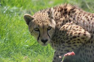 Cheetah 2 by lucky128stocks