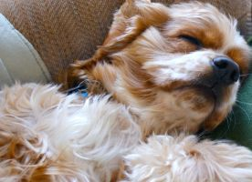 Sleepy Spaniel by HrWPhotography