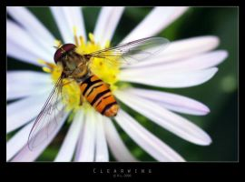 Clearwing by Mr808