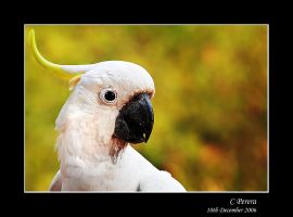 Cockatoo by diablo2097