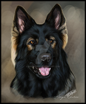 Jethro the Dark Sable German Shepherd by Angiegsnz