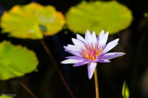 Lavender water lily 2 by LordMajestros