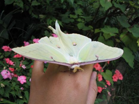Luna Moth by curesque