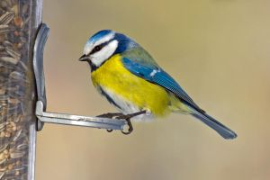 Blue tit by attomanen