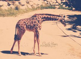 Baby Giraffe by ceciliay