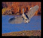 Incoming Heron II by andy-j-s
