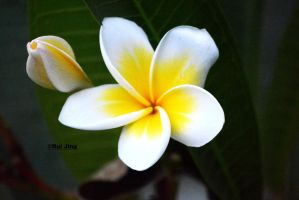 Frangipani of hope by GreenNexus51