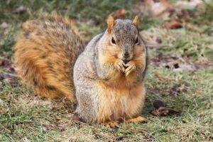 Eastern Fox Squirrel by AndehDulac