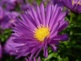 Purple flower (aster) by jxp3397