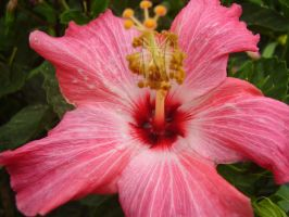 Hibiscus Veins by Pentacle5
