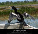 Anhinga Stock by Cassy-Blue