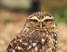 Burrowing Owl 1 by James-Marsh