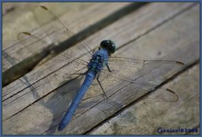 Dragonfly Blue4 by Gooiool