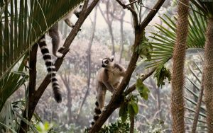 Ring Tailed Lemur by StarwaltDesign