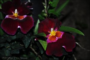 Miltoniopsis Red Shadow by Flower-of-Grace