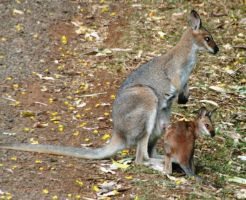 Red Neck Wallaby and Joey by LESHA