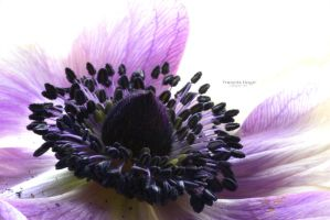 - purple anemone - by hortensie