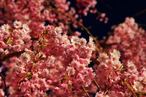 Pink and white close up by Celem