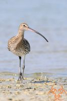 Eurasian Curlew by ahmedalali